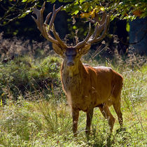 Red Deer Stag von Keld Bach