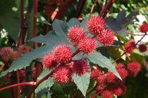 Früchte des Wunderbaums  von lorenzo-fp