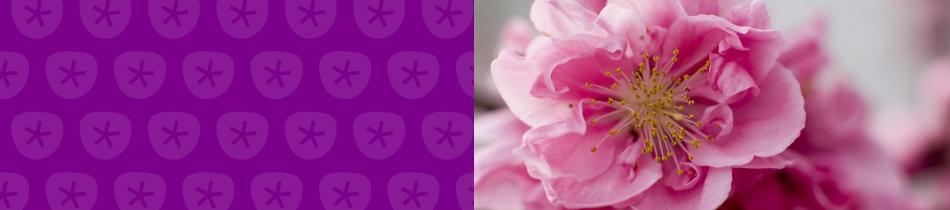 Banner_kirschblüten