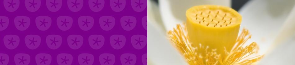 Banner_lotusblumen