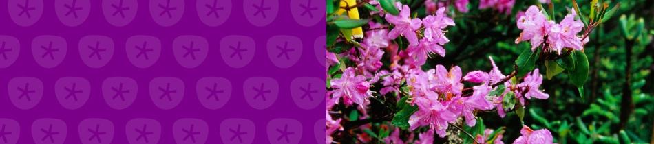 Banner_rhododendren