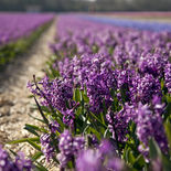 Holland-flowers-2
