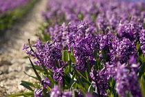 Holland-flowers-2