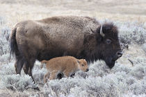 Wyyellbiscc-34-cow-and-calf-bison-yellowstone-np-wy-c-gerry-reynolds