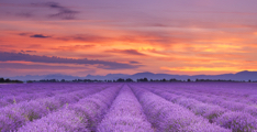 Sunrise-over-blooming-fields-of-lavender-in-the-provence-france_p1