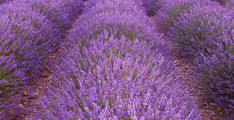 Sunrise-over-blooming-fields-of-lavender-in-the-provence-france_p2